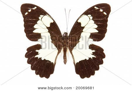 Black And White Butterfly Papilio Eunchenor Isolated On White Background