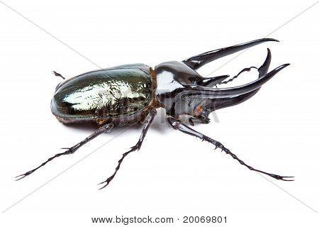 Black Big Beetle Chalcosoma Atlas