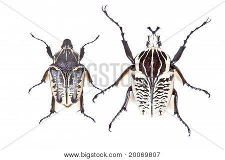 Black And White Beetle Goliathus Albosignathus