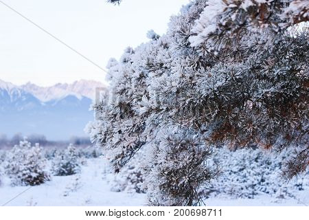 Fluffy branch of a pine against the background of snow-white mountains