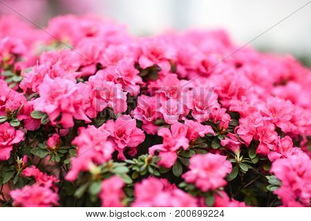 Lots of small pink flowering Azaleas flowers