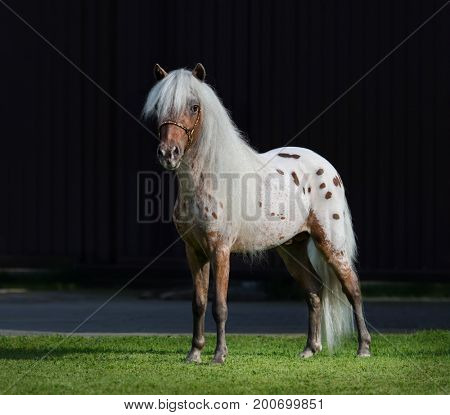 Appaloosa American miniature horse standing on green grass on dark background.