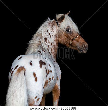 Appaloosa American Miniature Horse. Vertical portrait on black background.