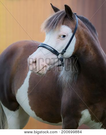 American Miniature Horse. Vertical portrait of pinto mare on gold background.