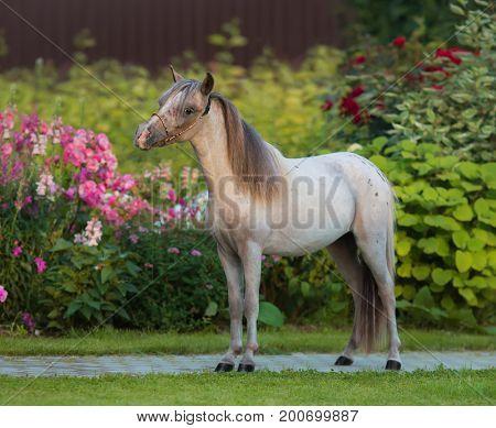 American miniature horse. Young appaloosa stallion on green grass in garden.