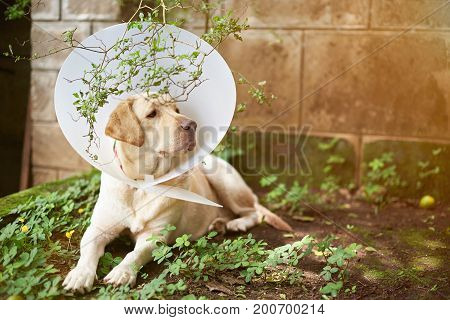 Dog injure recovery theme. Labrador dog with plastic collar cone