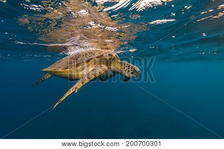 Hawksbill turtle trying to breath. Wild animal underwater photography, marine life, diving and snorkeling activities.
