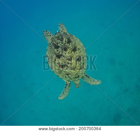 Hawksbill turtle swimming into depth. Wild animal underwater photography, marine life, diving and snorkeling activities.