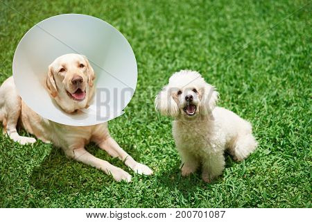 Two happy dogs  after vet treatment sitting on green grass