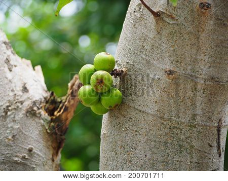 green Ficus carica racemosa or figs on the tree in forest Thailand.