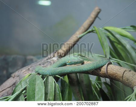 the green snake (Green pit vipers) are take a rest on the tree.