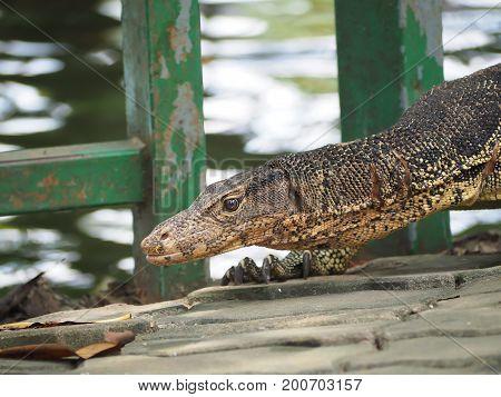 Monitor lizard (Varanus salvator) live in Dusit zoo Bangkok.