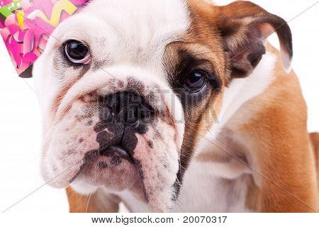 Closeup Picture Of A Cute English Bulldog Puppy