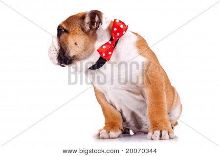 English Bulldog Puppy Wearing A Red Ribbon