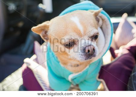 Chihuahua dog. Portrait of cute chihuahua dog in outdoors.