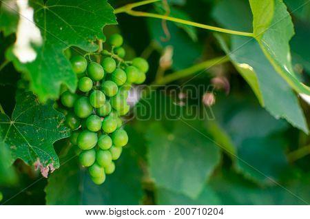 Green grape on the tree in detail Vitis vinifera