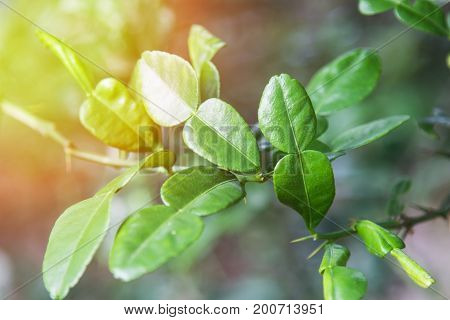 Green Leaves ,lime Leaves.