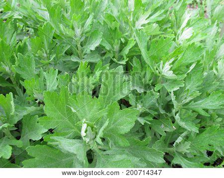 California Mugwort, Artemisia douglasiana, in herb garden