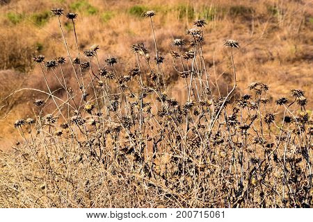 Arid landscape including dried up grasslands and Thistle Wildflowers during a prolonged drought taken in the Whittier Hills, CA