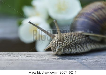 Grape snail. A culinary delicacy in many countries, especially in France. Wildlife. The flora and fauna. Close-up shooting. Summer. Jasmine and flowers.
