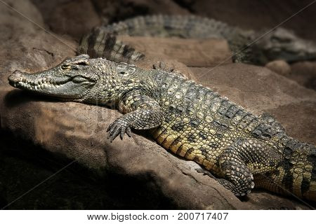 The crocodile, one of the most dangerous hunters captivated in a zoo