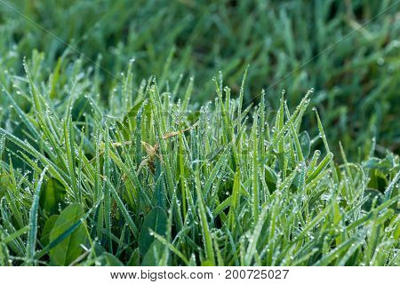 Dew on grass during April early morning.