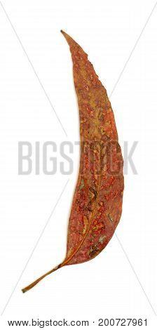 Single Eucalypt Leaf