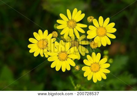 Yellow flowers on a mountain trail at spring, mount Beljanica, Serbia
