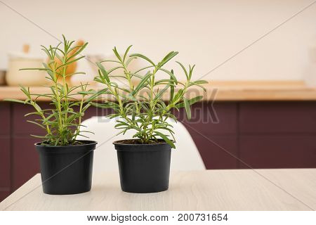 Green rosemary in pots on table
