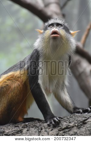 Cute wolf's guenon monkey looking up toward another monkey.