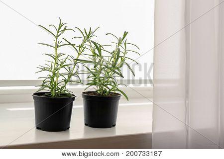 Green rosemary in pots on windowsill