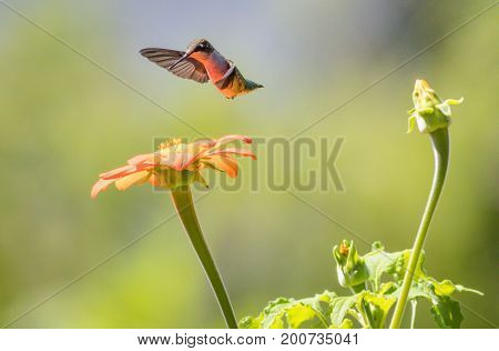 Ruby-throated Hummingbird (archilochus colubris) enjoys orange Tithonia flower