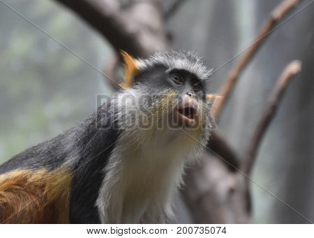 Great face of wolf's mona monkey sitting up.