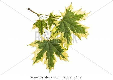 Maple leaves (Acer platanoides Drummondii) with original coloring isolated on white background. Most famous and spectacular of variegated forms of maple