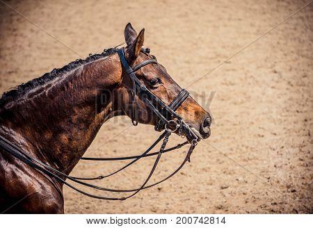 Dressage horse portait. Brown horse during dressage competition. Advanced dressage test.