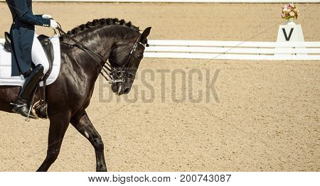 Dressage horse and rider. Black horse portrait during dressage competition. Advanced dressage test. Copy space for your text.
