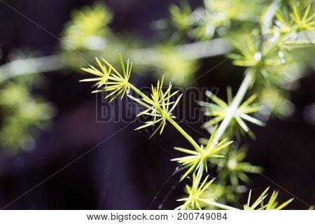Leaves of a wild asparagus (Asparagus acutifolius)