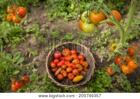 Top view on bunch of fresh organic tomatoes over round basket with vegetables in the garden. Picking Tomatoes. Vegetable Growing. Gardening concept