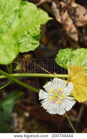 scarlet fruit passionflower or passiflora foetida tropical herb growing in backyard garden
