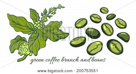 Set with green coffee branch with leaves and natural coffee beans. Botanical contour drawing. Vector illustration isolated on white background eps.10