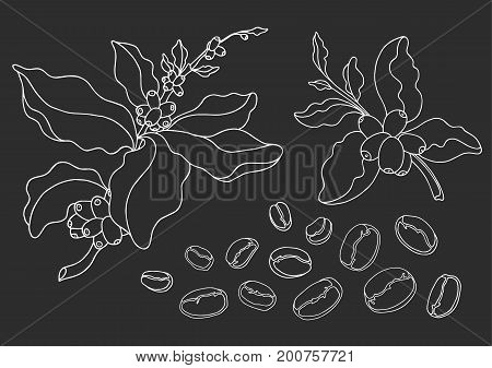 Set of coffee branch with leaves and natural coffee beans. Botanical contour drawing. Vector doodle sketch isolated on black background eps.10