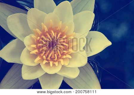 white water lilies with yellow center on the water. Macro photo.