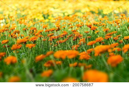 Beautiful Marigold flower plant in the park nature abstract style