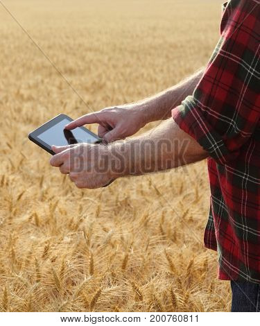 Agriculture, Farmer Examining Wheat Field