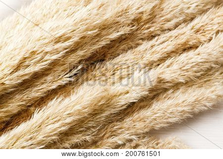 Dried fluffy cattail or typha flower texture background on white wood closeup. Absract floral composition