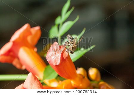 the bee collects pollen from a flower in sunny summer day