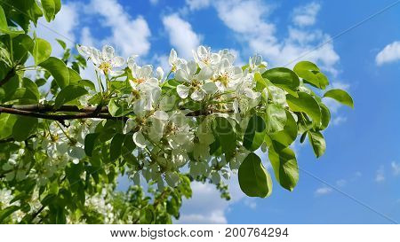 Beautiful branch of a spring fruit tree with beautiful white flowers on blue sky background