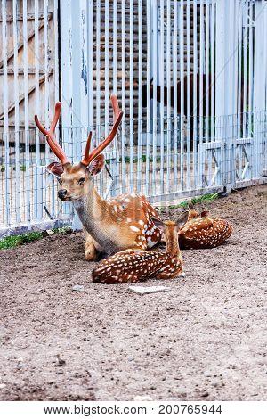 Deers In The Zoo
