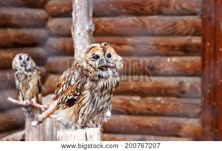 Photo Of Two Owls In A Zoo Cage. Owl Face With Disdain Expression. Defiance Concept. Defiant Face. D