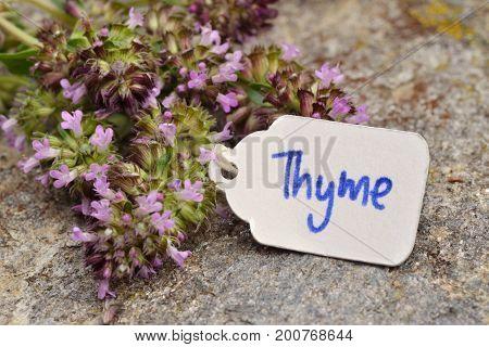 Wild Thyme (Thymus vulgaris) - macro photography